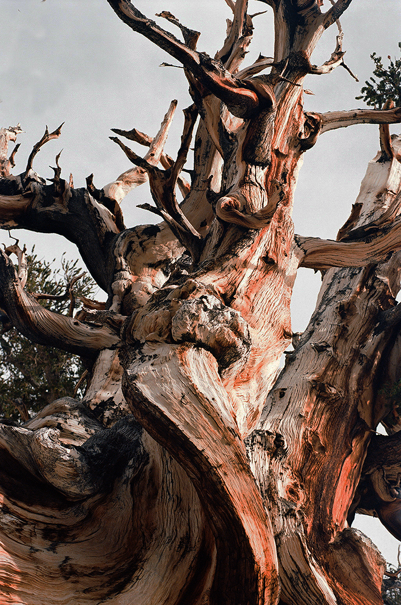 bristle-pine-22-4xwm.jpg